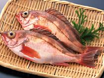 春の鮮魚【メバル】